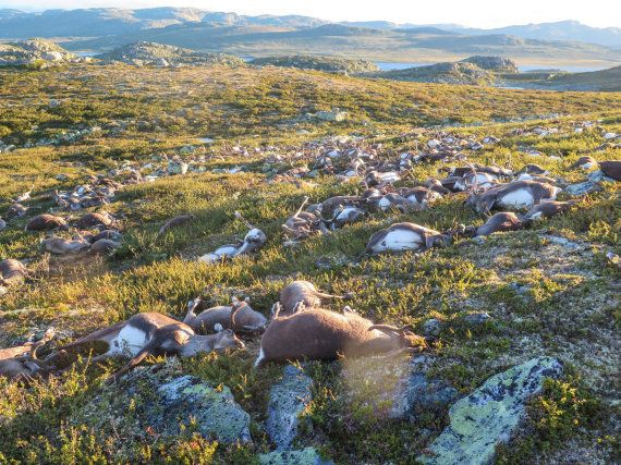 Un rayo mata a más de 300 renos en