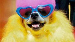 Los concursos de belleza canina más extremos (VÍDEO,