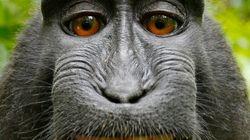 Sobre macacos, 'selfies' y propiedad intelectual...