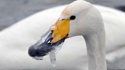 El cisne con el pico congelado y otras 8 fotos del