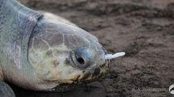 La agonía de una tortuga a la que un tenedor de plástico impedía respirar