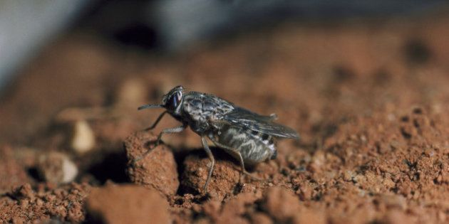 Los peligros reales de la mosca tse-tse y la enfermedad del