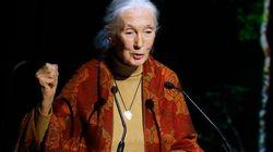 Jane Goodall, tras la muerte del gorila de un zoo para salvar a un niño: