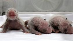 Estos trillizos de panda te van a alegrar el día (FOTOS,