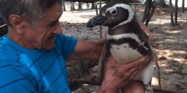 Este es Dindim, el pingüino que nada 8.000 kilómetros cada año para ver al hombre que le