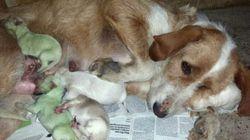 ¿Por qué nacen perros verdes? (FOTOS,