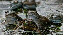 La misteriosa muerte de miles de ranas gigantes del
