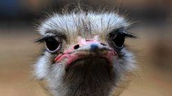 La mirada indignada de este avestruz y otras 9 fotos del