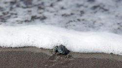El primer baño de una tortuga