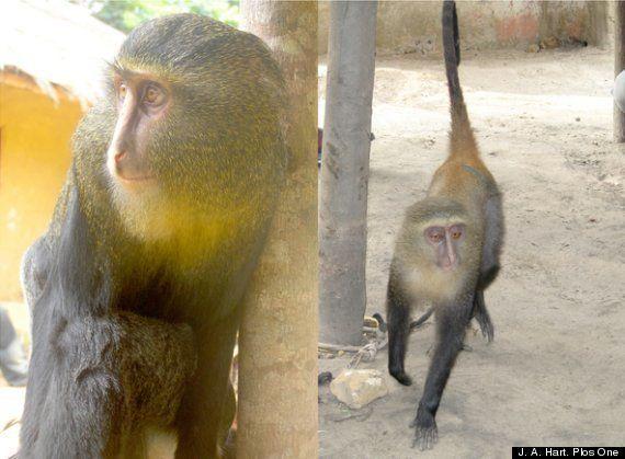 Lesula, nueva especie de mono africano