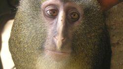 Mira una nueva especie de mono