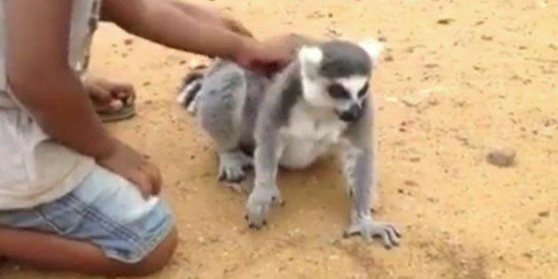 Si pensabas que a ti te gustaban los mimos es porque aún no has visto a este lemur