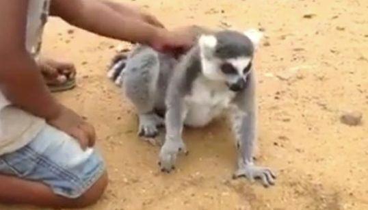 Este lemur es lo más achuchable que vas a ver en todo el