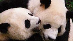 ¿Pandas para