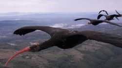 ¿Por qué las aves vuelan en V? (FOTOS,