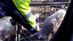 Un policía local rocía con spray a unos cerdos