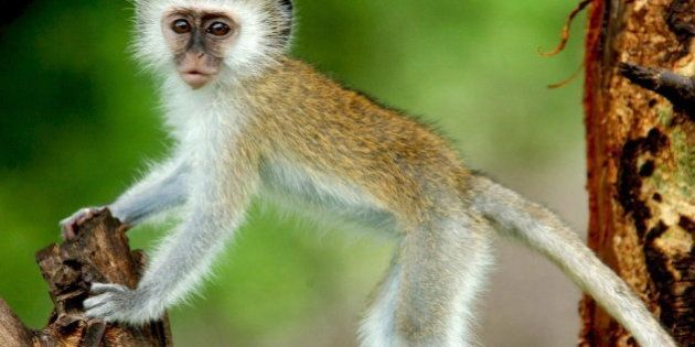 Un mono provoca un apagón eléctrico en toda