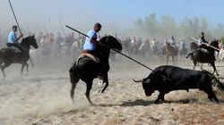 La prohibición de matar en público al Toro de la Vega ya tiene su