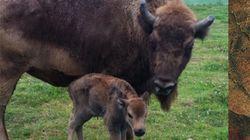 Nace un nietuco de los bisontes de