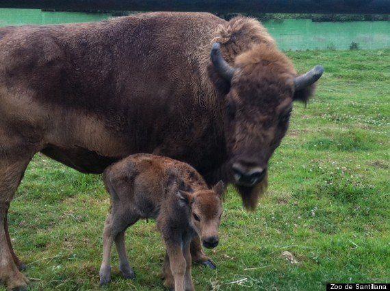 Nace un nuevo tataranieto de los bisontes de