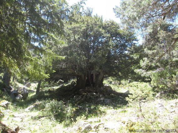 'Un monstruo viene a verme' (en forma de tejo): 20 datos sobre el árbol de la película de