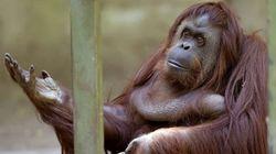 La orangutana Sandra y otras 10 fotos impactantes del