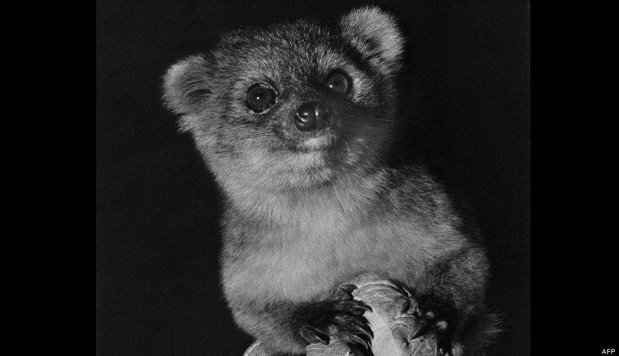 Olinguito: fotos de la nueva especie de mamífero hallada en Ecuador y