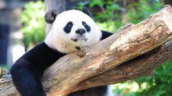 Los pandas salen de