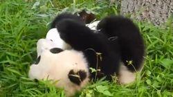 El panda Bao Bao, la osa que hace la croqueta, cumple un año