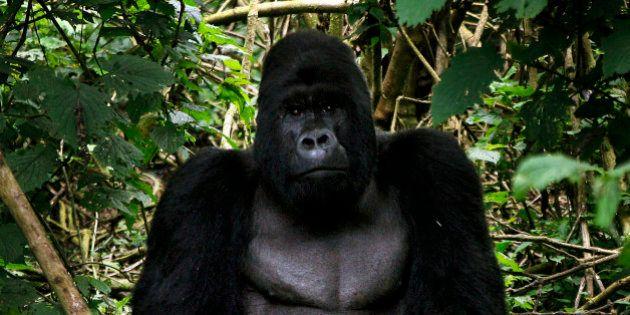 La caza ilegal lleva los grandes simios al borde de la