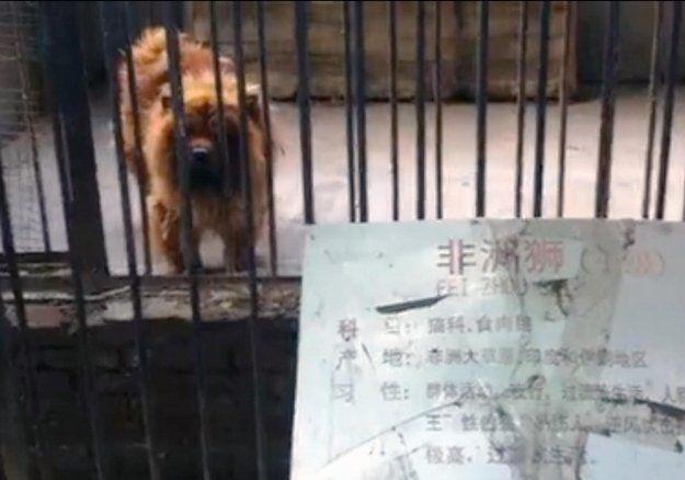 Cierra un zoo en Luohe (China) que hizo pasar mastines tibetanos por leones