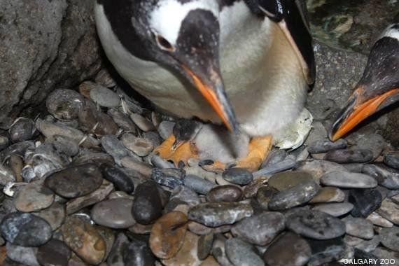Así rompe el cascarón un pingüino (VÍDEO,