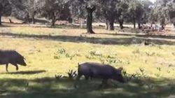 El cerdo ibérico puro es un