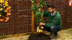 El TomTato, la planta que da patatas y tomates