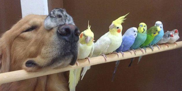 Un golden retriever, ocho pájaros y un hámster: la siesta con amigos es más