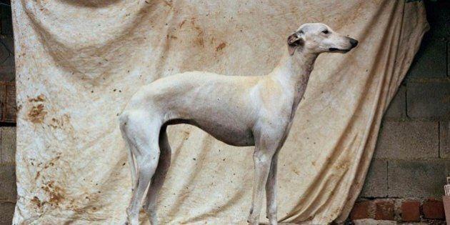 Un fotógrafo británico convierte en arte a los perros de caza abandonados en