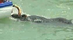 Muere una de las vacas de la fiesta 'bous a la mar'