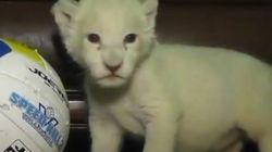 Nacen dos leones albinos en un zoo de Ucrania
