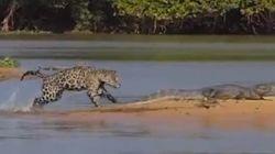 Espectaculares imágenes: jaguar a la caza del caimán
