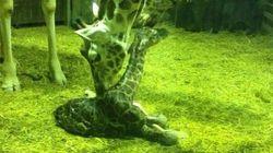 Así nace una jirafa