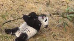 Esta lucha de panda contra bambú es puro lunes por la mañana