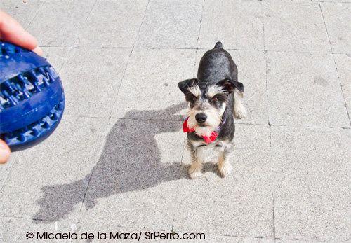 Cómo educar perros (¿y manipular