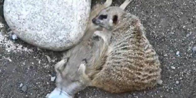 Animales dormidos: bichinos que empiezan la semana con más sueño que tú (FOTOS,