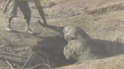La carrera de un bebé elefante rescatado al encuentro con su madre