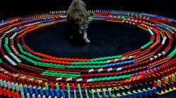 El gato hipnotizado por el dominó: el nuevo vídeo viral de bichinos