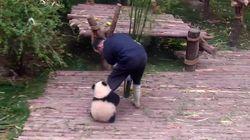 El tierno vídeo del oso panda que no se separa de su