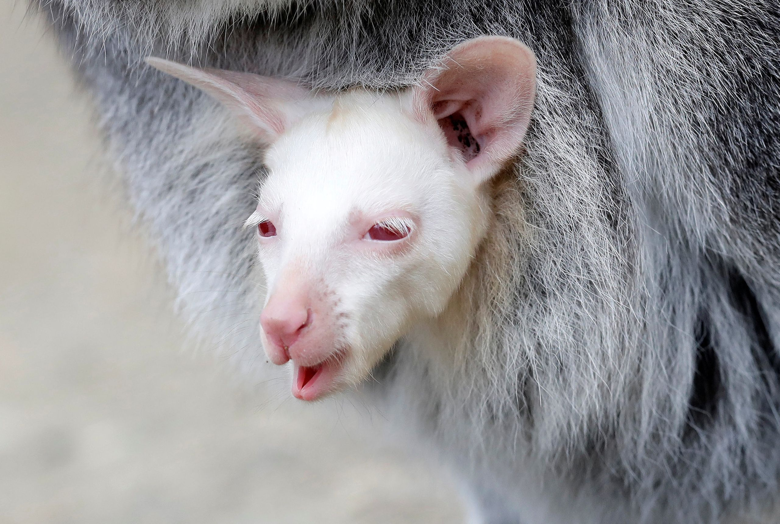 A newly born albino red-necked wallaby joey peeks out of its mother's pouch at a zoo in Decin, Czech Republic, March 13, 2019