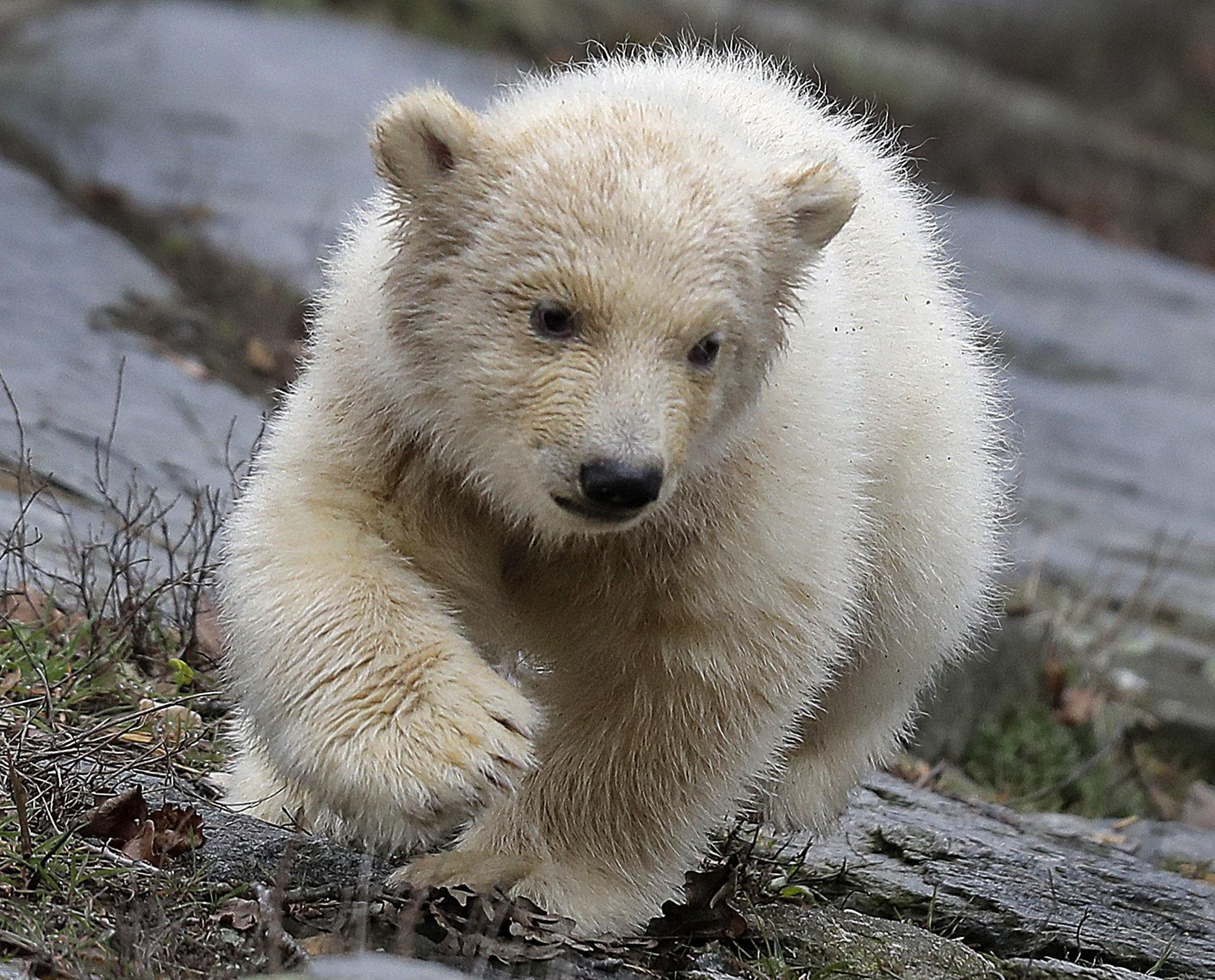 Βερολίνο: Το δημοφιλές πολικό αρκουδάκι κάνει τα πρώτα του βήματα στον ζωολογικό