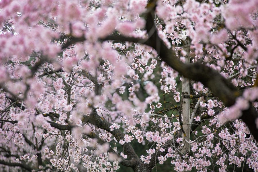 Primavera en Madrid: la floración de los almendros en la Quinta de los