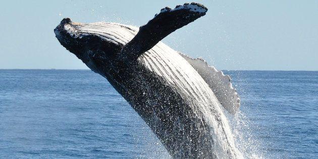 Una ballena engulle a un buzo y lo devuelve vivo en una playa de